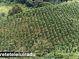 Plantatie de piper in Kerala, India