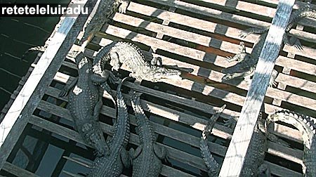 Ferma de crocodili pe lacul Ton Le Sap - Cambodgia