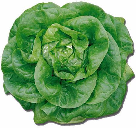 Salata Butterhead - sursa foto: www.jungleseeds.com