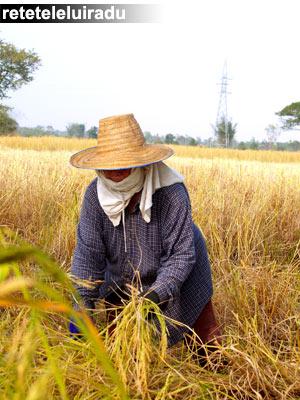 Fermier cambodgian pe un camp cu orez
