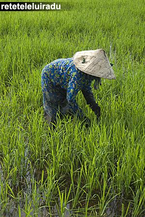 Câmp de orez în Kuala Selangor-Malaezia