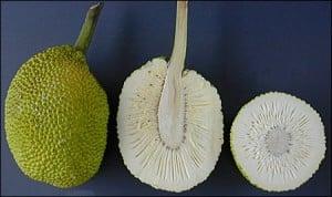 arborele de paine1 - Bucătăria jamaicană - Exotism și diversitate 2 - Retetele lui Radu