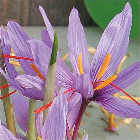 Crocus sativus - sursa foto: promessedefleurs.com
