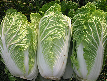 Varza chinezeasca - sursa foto: http://www.openhandsfarm.com/