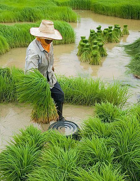 Fermier thailandez, Petchaboon, Thailanda