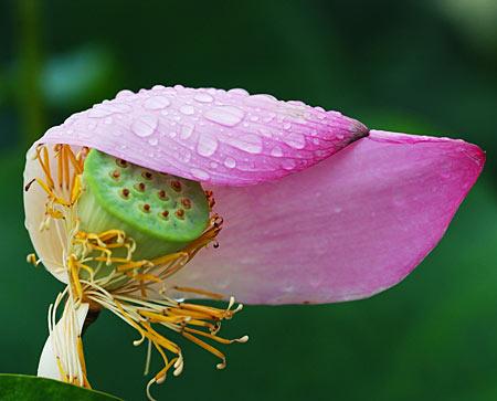 lotusFloare - Pe scurt despre seminţele de lotus 1 - Retetele lui Radu