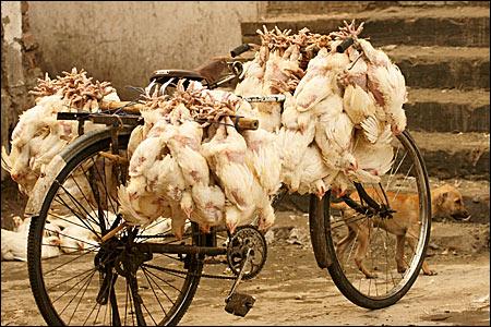 bicicleta cu gaini - Fotografii de pe papamond (32) 1 - Retetele lui Radu