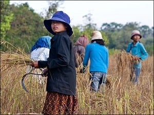 Young women harvesting rice1 - Fotografii de pe papamond (40) 7 - Retetele lui Radu