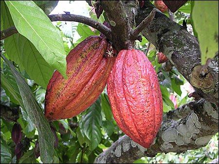 ciocolata04 - Pe scurt despre ciocolată (1) 4 - Retetele lui Radu